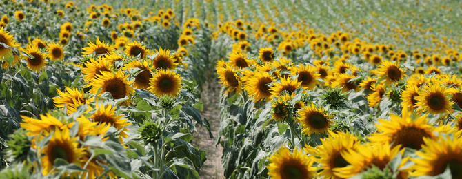 Longeveau Sunflowers